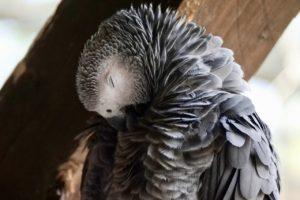 Čo sa deje, keď si papagáje šklbú perie?